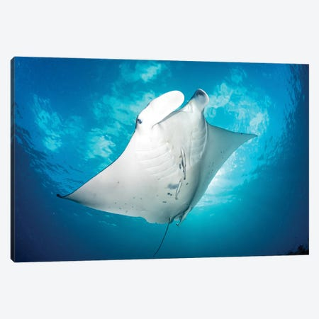 Dancing Manta Ray Canvas Print #RNS16} by Jordan Robins Canvas Art Print