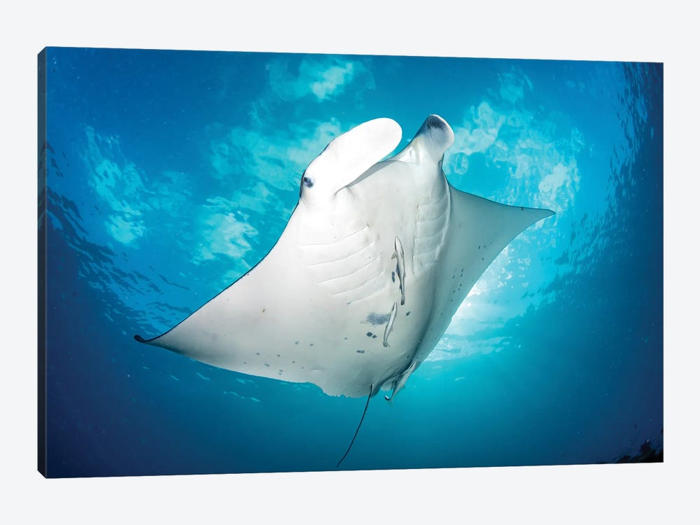 Dancing Manta Ray by Jordan Robins 1-piece Canvas Artwork