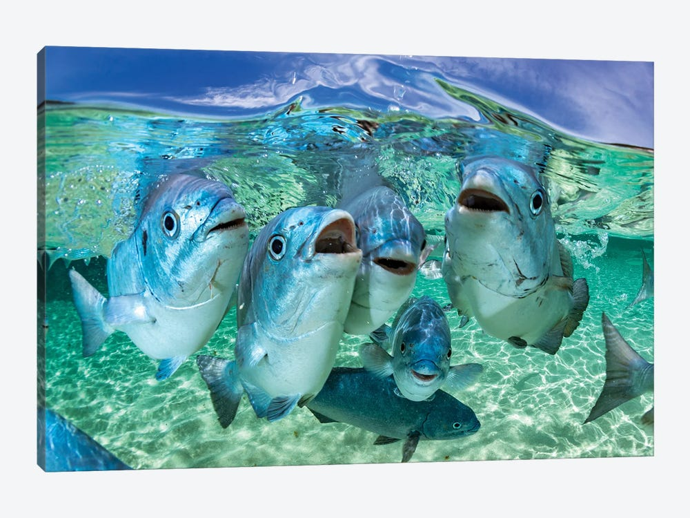 Fishy Karaoke Lord Howe Island by Jordan Robins 1-piece Canvas Art Print