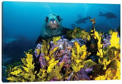 Fur Seal Jervis Bay Canvas Art Print