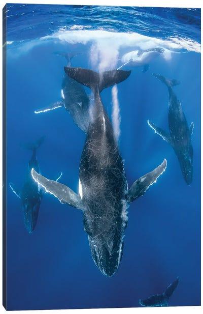 Humpback Whale Heat Run Canvas Art Print