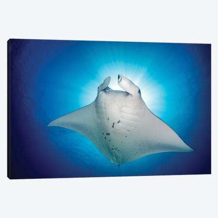 Manta Ray Magic Canvas Print #RNS43} by Jordan Robins Canvas Print