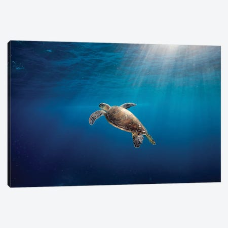 Rise To The Light Turtle Canvas Print #RNS53} by Jordan Robins Canvas Art