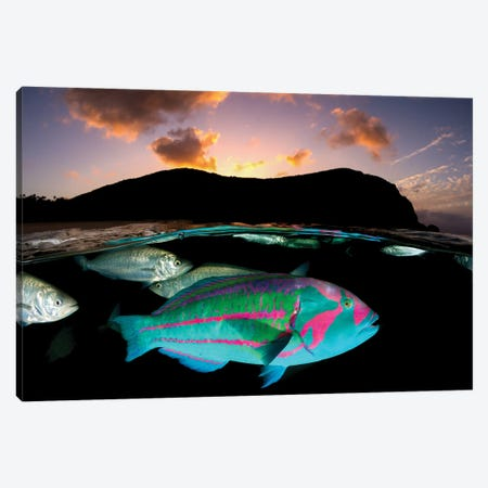 Surge Wrasse Sunset Lord Howe Island Canvas Print #RNS62} by Jordan Robins Art Print