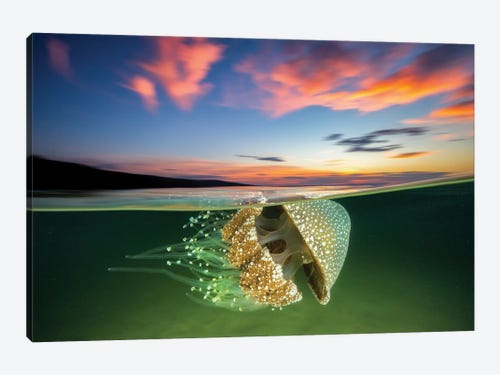 White Spotted Jellyfish Sunset Canvas Print By Jordan Robins Icanvas
