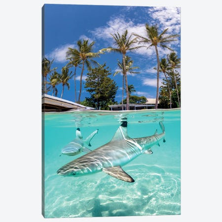 Blacktip Reef Sharks Canvas Print #RNS8} by Jordan Robins Canvas Art Print