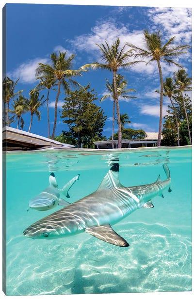 Blacktip Reef Sharks Canvas Art Print