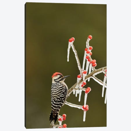 Ladder-backed Woodpecker perched on icy Possum Haw Holly, Hill Country, Texas, USA Canvas Print #RNU10} by Rolf Nussbaumer Canvas Artwork