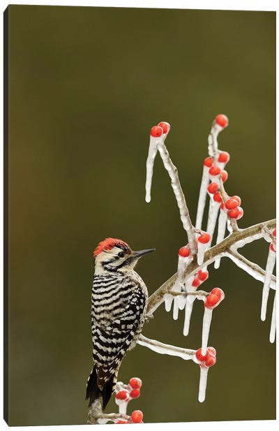 Ladder-backed Woodpecker perched on icy Possum Haw Holly, Hill Country, Texas, USA Canvas Art Print