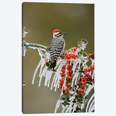 Ladder-backed Woodpecker perched on icy Yaupon Holly, Hill Country, Texas, USA Canvas Print #RNU11} by Rolf Nussbaumer Canvas Artwork