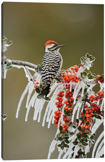 Ladder-backed Woodpecker perched on icy Yaupon Holly, Hill Country, Texas, USA Canvas Art Print