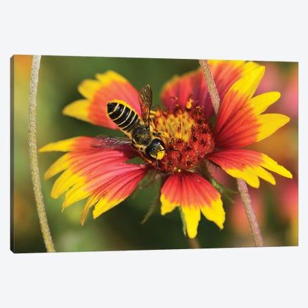 Leafcutter bee feeding on Indian Blanket, Texas, USA Canvas Print #RNU12} by Rolf Nussbaumer Canvas Artwork