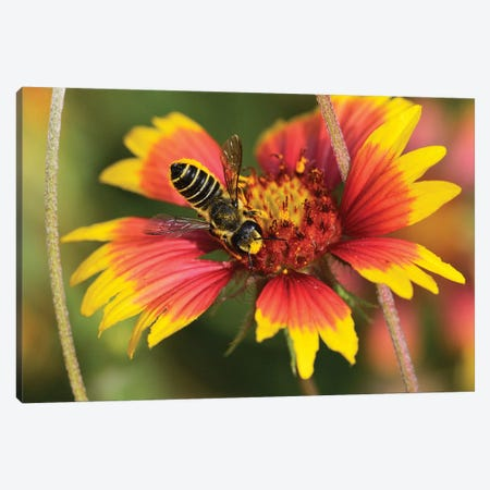 Leafcutter bee feeding on Indian Blanket, Texas, USA Canvas Print #RNU12} by Rolf Nussbaumer Canvas Artwork
