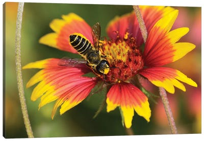 Leafcutter bee feeding on Indian Blanket, Texas, USA Canvas Art Print