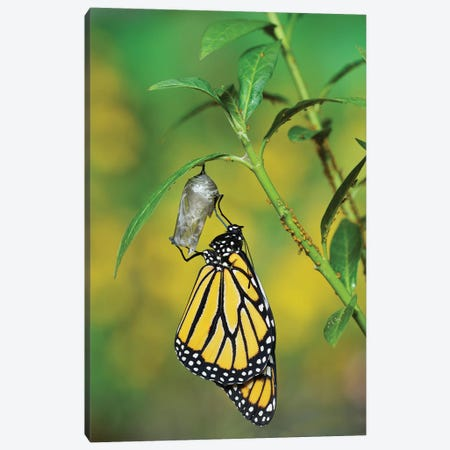 Monarch butterfly emerging from chrysalis on Tropical milkweed, Hill Country, Texas, USA 3-Piece Canvas #RNU14} by Rolf Nussbaumer Canvas Print
