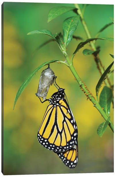 Monarch butterfly emerging from chrysalis on Tropical milkweed, Hill Country, Texas, USA Canvas Art Print