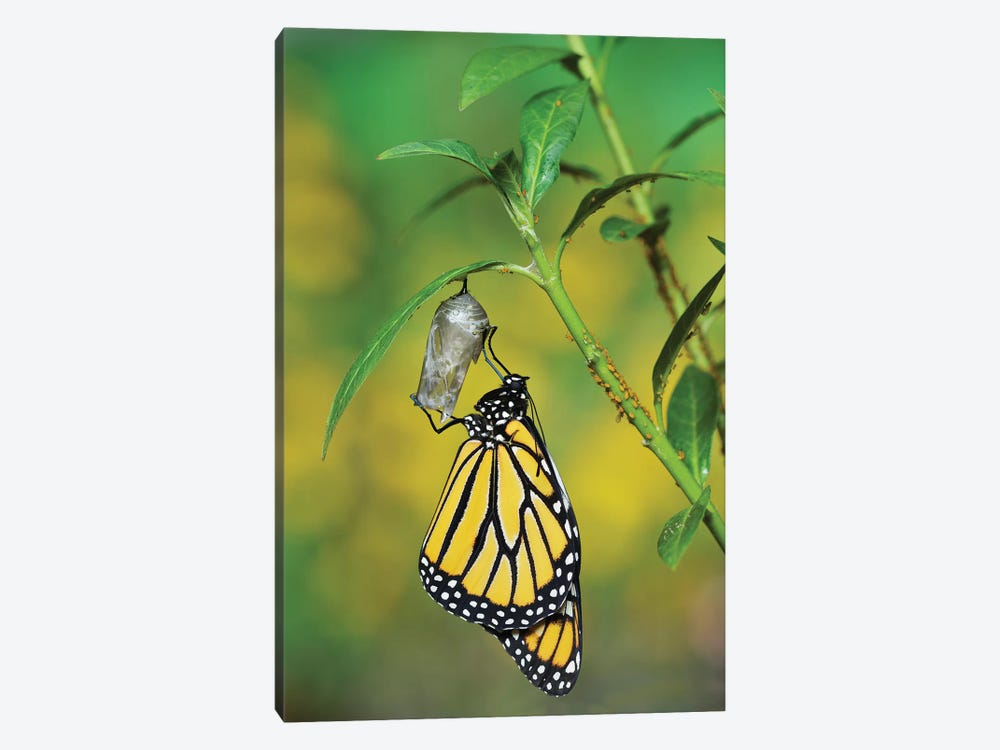 Monarch butterfly emerging from chrysalis on Tropical milkweed, Hill Country, Texas, USA by Rolf Nussbaumer 1-piece Canvas Artwork