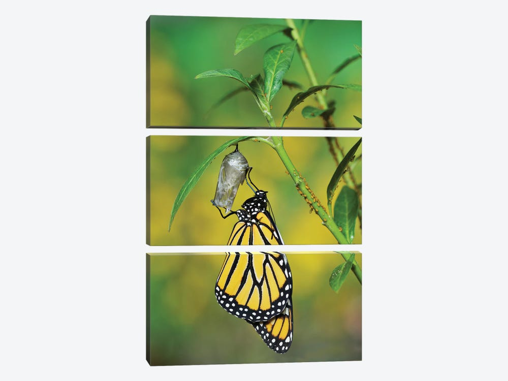 Monarch butterfly emerging from chrysalis on Tropical milkweed, Hill Country, Texas, USA by Rolf Nussbaumer 3-piece Canvas Artwork