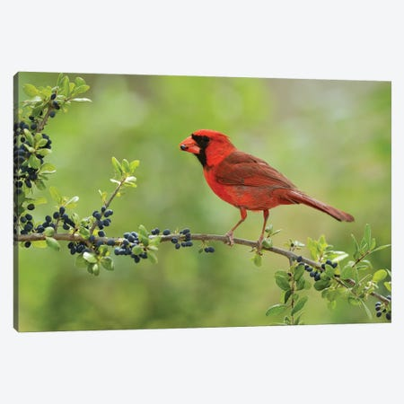 Northern Cardinal male eating Elbow bush berries, Hill Country, Texas, USA Canvas Print #RNU15} by Rolf Nussbaumer Canvas Art Print