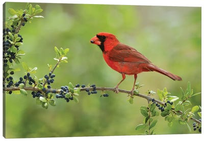 Northern Cardinal male eating Elbow bush berries, Hill Country, Texas, USA Canvas Art Print