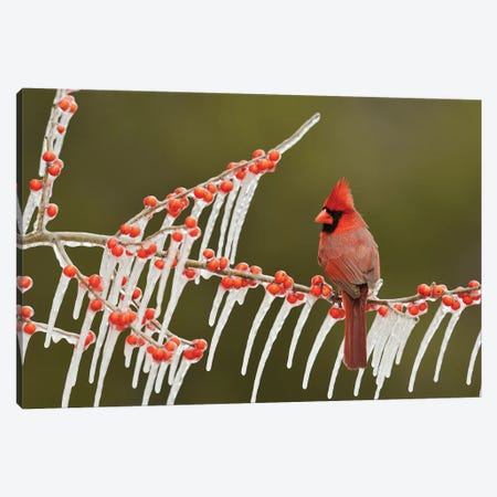Northern Cardinal male perched on icy Possum Haw Holly, Hill Country, Texas, USA Canvas Print #RNU16} by Rolf Nussbaumer Canvas Art Print