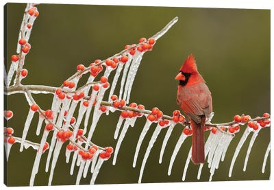 Northern Cardinal male perched on icy Possum Haw Holly, Hill Country, Texas, USA Canvas Art Print