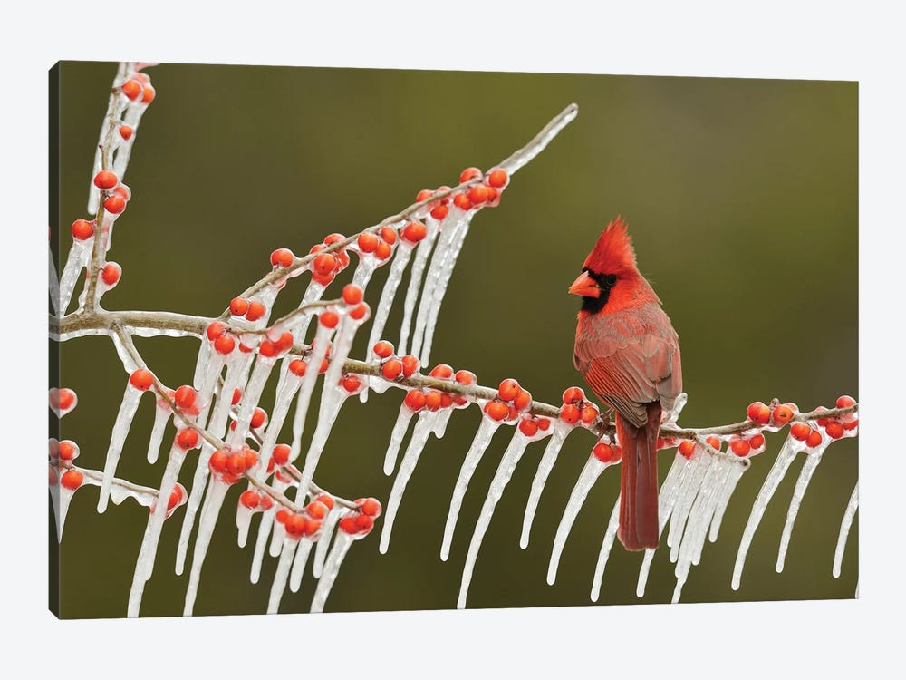 Northern Cardinal male perched on icy Possum Haw Holly, Hill Country, Texas, USA by Rolf Nussbaumer 1-piece Canvas Artwork