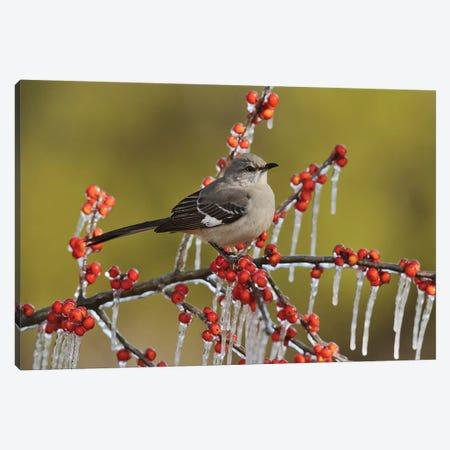Northern Mockingbird perched on icy Possum Haw Holly, Hill Country, Texas, USA Canvas Print #RNU17} by Rolf Nussbaumer Canvas Art Print