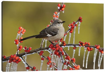 Northern Mockingbird perched on icy Possum Haw Holly, Hill Country, Texas, USA Canvas Art Print