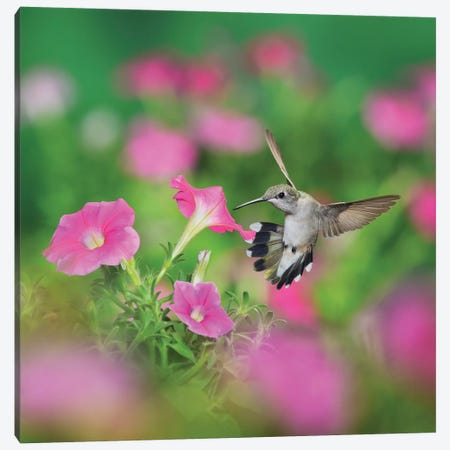 Ruby-throated Hummingbird female in flight feeding, Hill Country, Texas, USA I Canvas Print #RNU18} by Rolf Nussbaumer Canvas Art