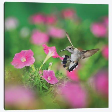 Ruby-throated Hummingbird female in flight feeding, Hill Country, Texas, USA I Canvas Print #RNU18} by Rolf Nussbaumer Canvas Art