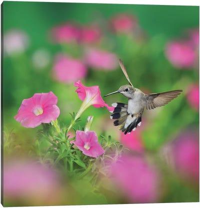 Ruby-throated Hummingbird female in flight feeding, Hill Country, Texas, USA I Canvas Art Print