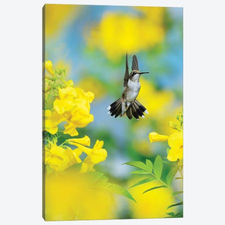 Ruby-throated Hummingbird female in flight feeding, Hill Country, Texas, USA II Canvas Print #RNU19} by Rolf Nussbaumer Canvas Art