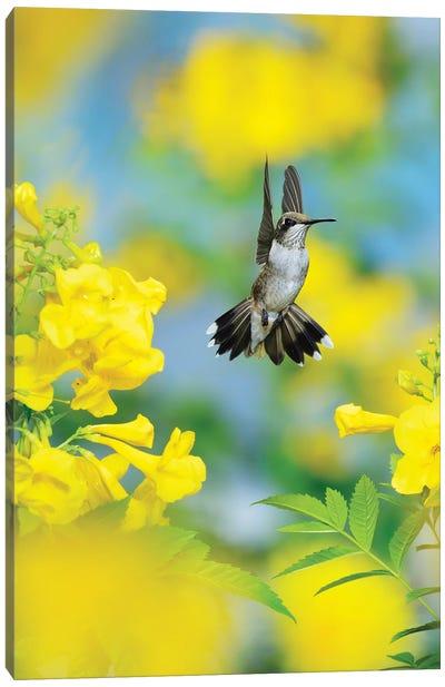 Ruby-throated Hummingbird female in flight feeding, Hill Country, Texas, USA II Canvas Art Print