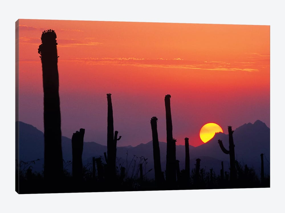 Saguaro Cacti At Sunset II, Saguaro National Park, Sonoran Desert, Arizona, USA by Rolf Nussbaumer 1-piece Canvas Artwork