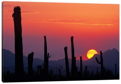 Saguaro Cacti At Sunset II, Saguaro National Park, Sonoran Desert, Arizona, USA Canvas Art Print