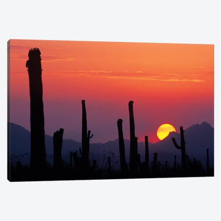 Saguaro Cacti At Sunset II, Saguaro National Park, Sonoran Desert, Arizona, USA Canvas Print #RNU1} by Rolf Nussbaumer Art Print