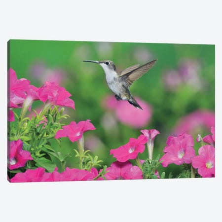 Ruby-throated Hummingbird female in flight feeding, Hill Country, Texas, USA III Canvas Print #RNU20} by Rolf Nussbaumer Canvas Print