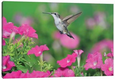 Ruby-throated Hummingbird female in flight feeding, Hill Country, Texas, USA III Canvas Art Print