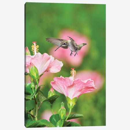 Ruby-throated Hummingbird young male in flight feeding, Hill Country, Texas, USA Canvas Print #RNU21} by Rolf Nussbaumer Art Print