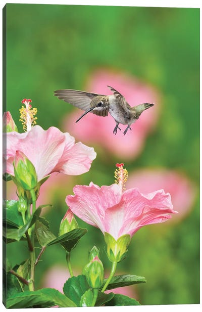 Ruby-throated Hummingbird young male in flight feeding, Hill Country, Texas, USA Canvas Art Print