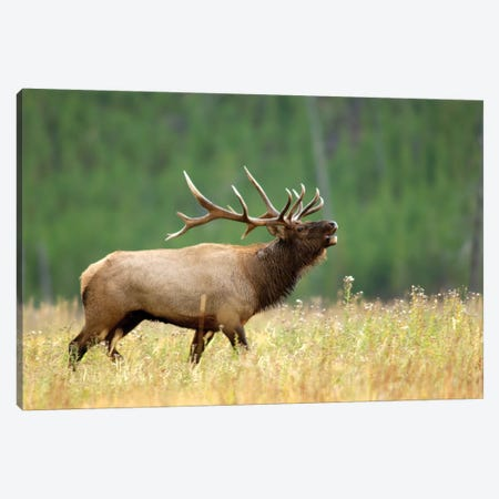 Bellowing Bull Elk II, Yellowstone National Park, Montana, USA Canvas Print #RNU2} by Rolf Nussbaumer Art Print