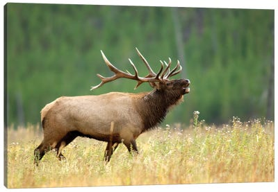 Bellowing Bull Elk II, Yellowstone National Park, Montana, USA Canvas Art Print