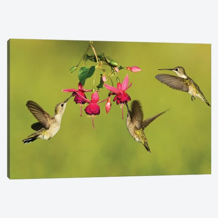 Black-chinned Hummingbird females feeding, Hill Country, Texas, USA Canvas Print #RNU3} by Rolf Nussbaumer Art Print
