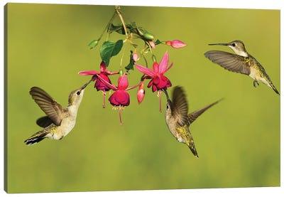 Black-chinned Hummingbird females feeding, Hill Country, Texas, USA Canvas Art Print