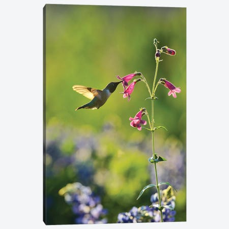 Black-chinned Hummingbird male feeding, Hill Country, Texas, USA Canvas Print #RNU4} by Rolf Nussbaumer Canvas Wall Art