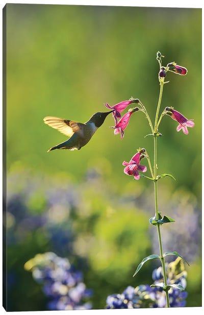 Black-chinned Hummingbird male feeding, Hill Country, Texas, USA Canvas Art Print