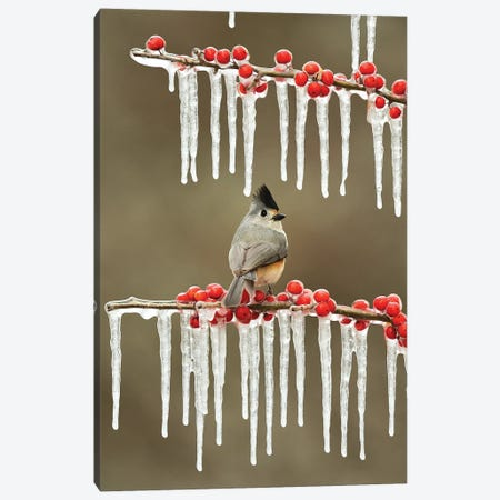Black-crested Titmouse perched on icy Possum Haw Holly, Hill Country, Texas, USA Canvas Print #RNU5} by Rolf Nussbaumer Canvas Wall Art