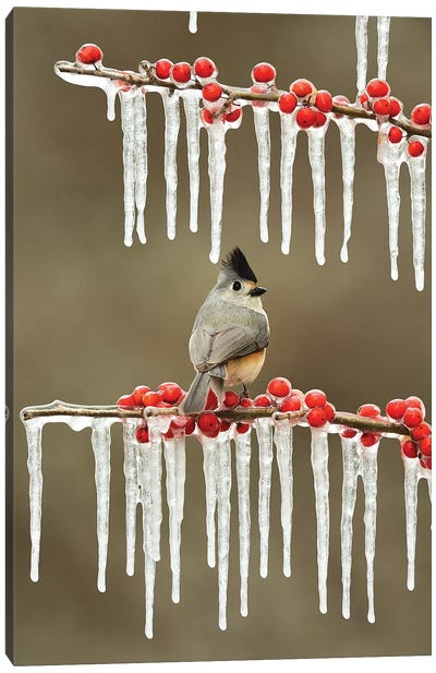 Black-crested Titmouse perched on icy Possum Haw Holly, Hill Country, Texas, USA Canvas Art Print