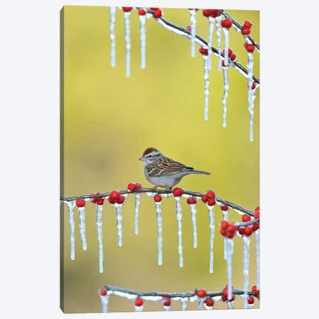 Chipping Sparrow perched on icy Possum Haw Holly, Hill Country, Texas, USA Canvas Print #RNU6} by Rolf Nussbaumer Canvas Wall Art